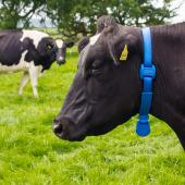 smart wearable for cows